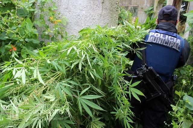 Hallan plantío de marihuana en predio baldío de Zacapoaxtla