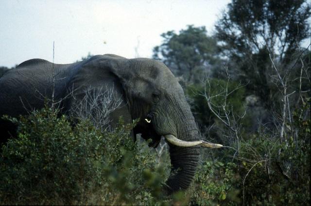 Elefantes africanos evolucionan, ahora nacen sin colmillos