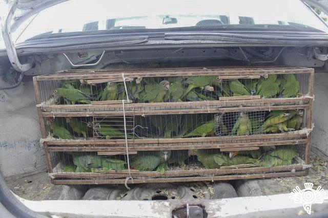 Detienen a presuntos traficantes con loros y monos en Puebla