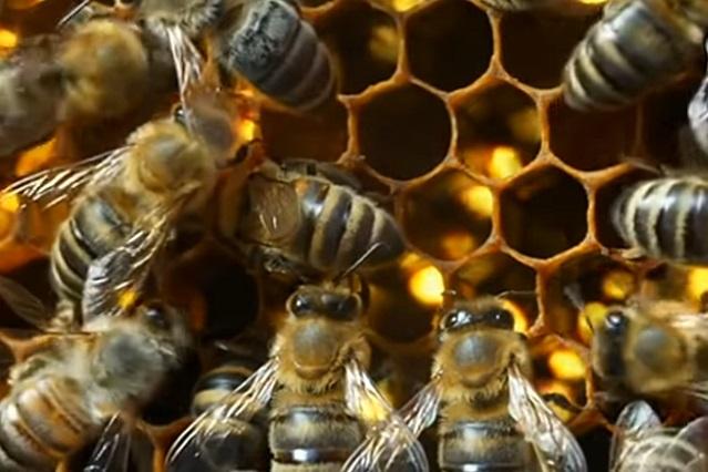 ¿Por qué el 20 de mayo es el día internacional de las abejas?
