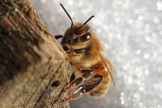 Descubre filtración de miel en su tejado; miles de abejas vivían ahí