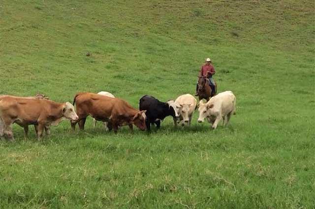 Ven colusión de autoridades en abigeato de Sierra Nororiental