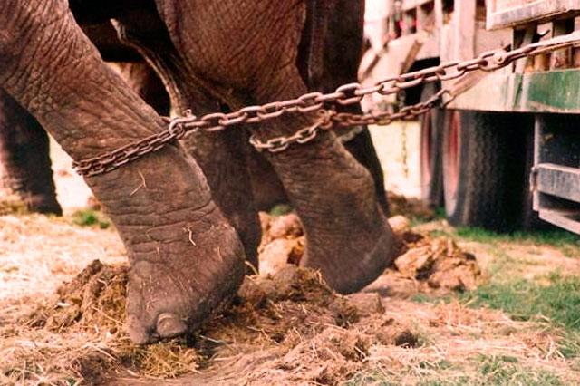 No hay denuncias de abusos contra animales en circos