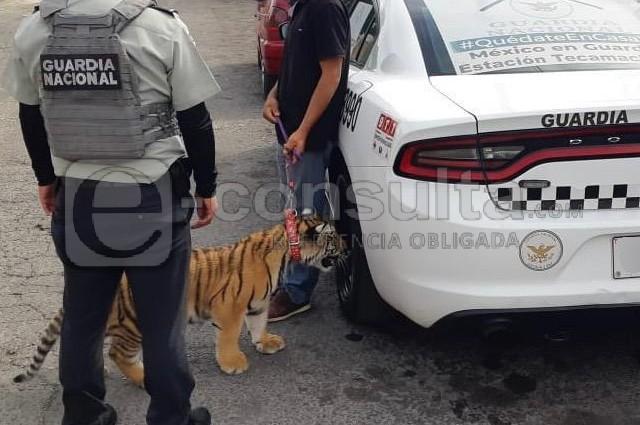 Recuperan en Acatzingo al tigre cachorro de La Libertad