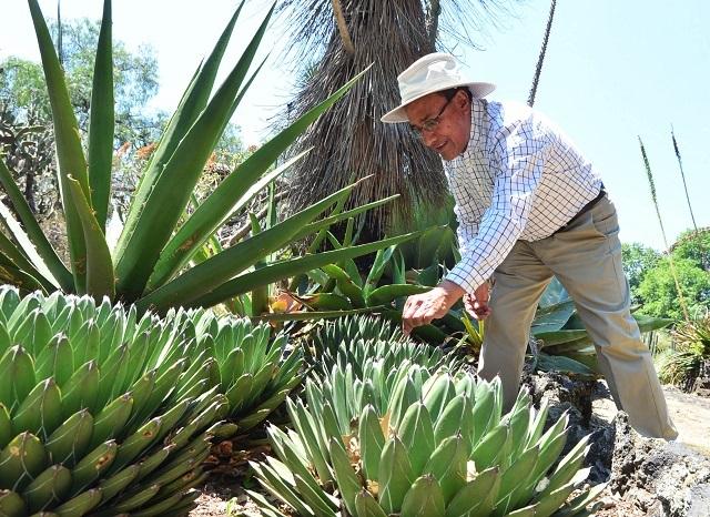 Descubren expertos 4 nuevas especies de agave en México