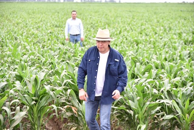 Desarrollan maíz híbrido que resiste efectos del cambio climático