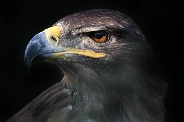 Tráfico ilegal y cambio climático amenazan al águila real