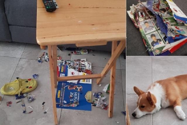 Le faltaban 30 estampas para completar su Panini… y su perro se lo comió