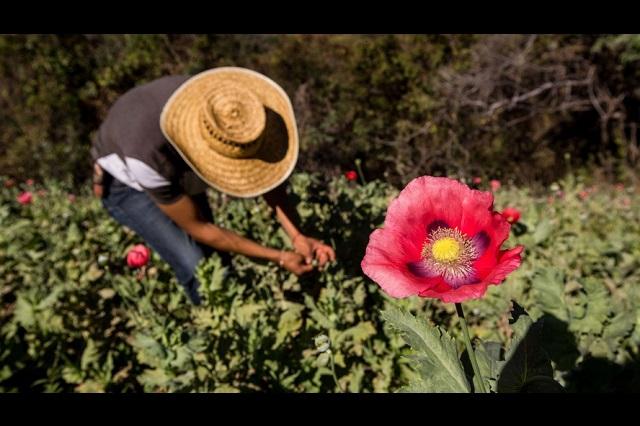 Esclavizan narcos a jóvenes en Guerrero para sembrar amapola