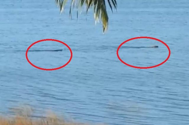 AMLO capta momento en que lagarto devora a jaguar en Quintana Roo