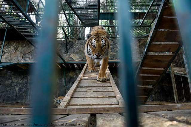 Critican a Profepa por alargar vida del zoológico de panista