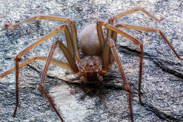 Descubren nueva especie de la araña violinista