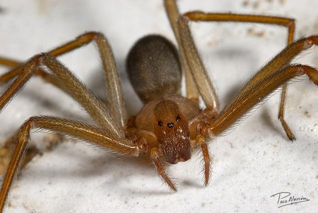 Mujer muere tras ser picada por una araña del rincón en uno de sus senos
