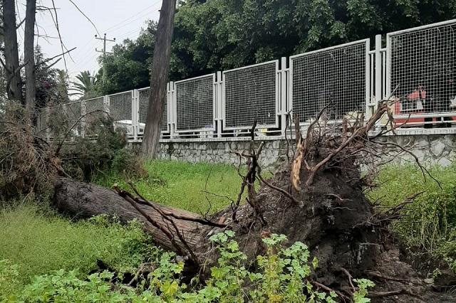Vientos tiran árbol en el Centro de Salud 1 de Analco