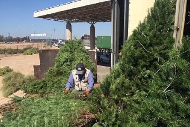 Arranca inspección a la importación de árboles de navidad