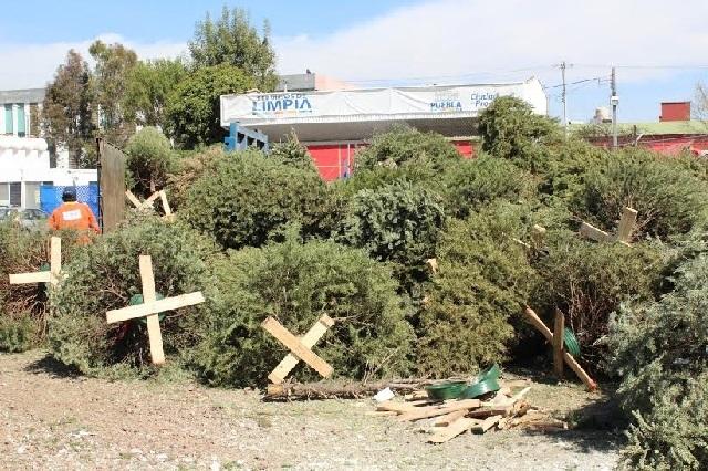 Queda Puebla corta en recolectar árboles de Navidad