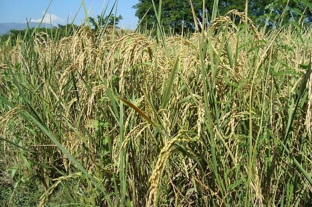 Impulsan investigación para el desarrollo de semillas de arroz