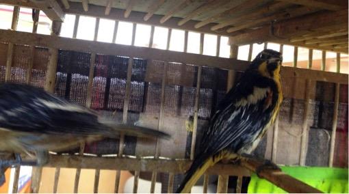 Profepa asegura 9 aves  a particular  por no acreditar  procedencia legal