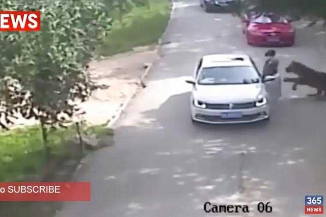 Mujer baja de vehículo en safari y es asesinada por tigre