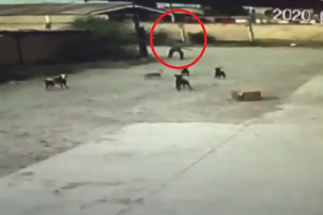 Jauría ataca hasta la muerte a hombre en calles de Durango