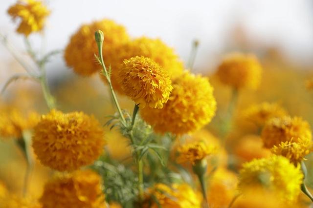 Flor de cempasúchil: conoce su historia y sus usos