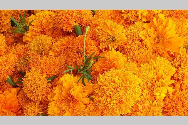 Atlixco prepara 300 hectáreas para sembrar flor de muerto