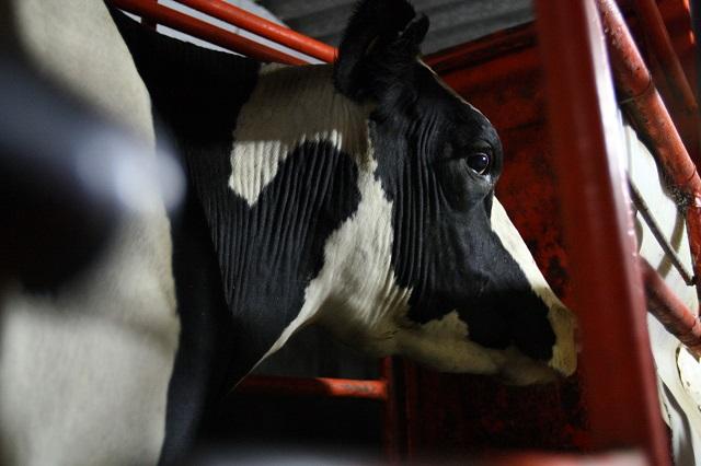 Detectan animales con tuberculosis bovina en el Rastro de Tehuacán