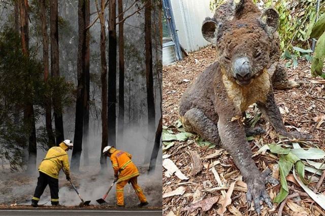 Australia perdió a la mitad de sus koalas por incendios del fin de semana