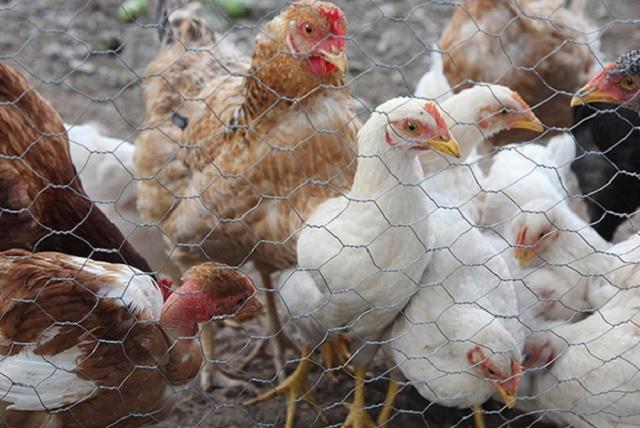Detectan foco de influenza aviar en Querétaro