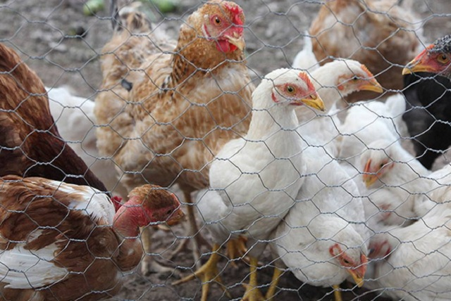 México reporta focos de fiebre aviar
