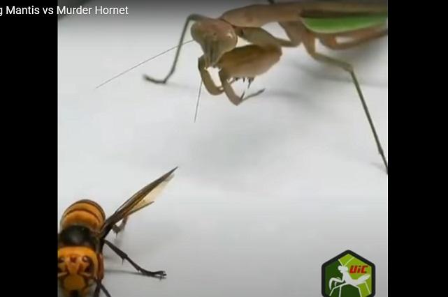 Video: ¿Quién gana pelea mortal entre mantis religiosa y avispón asesino?