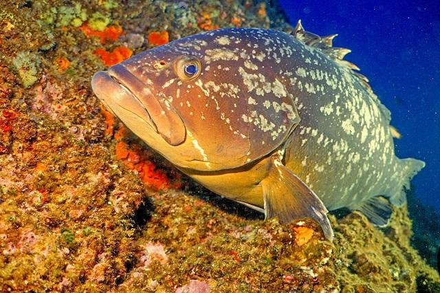 Inicia temporada de pesca de Mero en el caribe mexicano