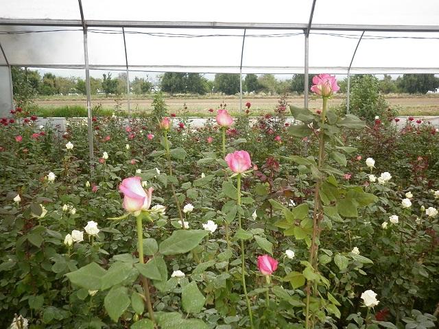 Es Puebla segundo lugar nacional en producción de rosas: Sagarpa
