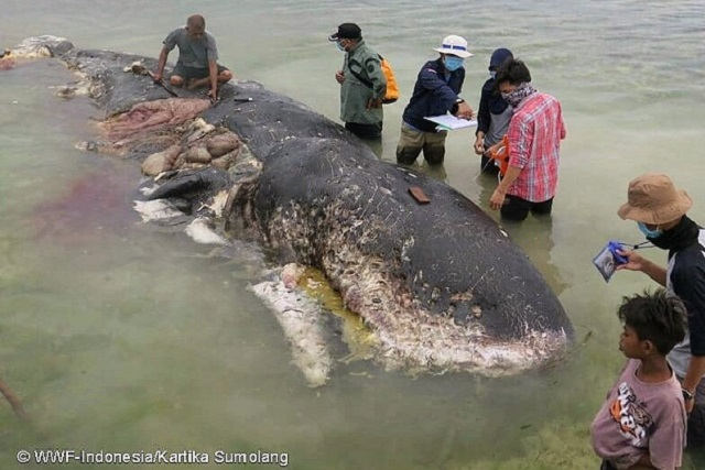 Hallan muerta en Indonesia a ballena que tragó miles de objetos de plástico