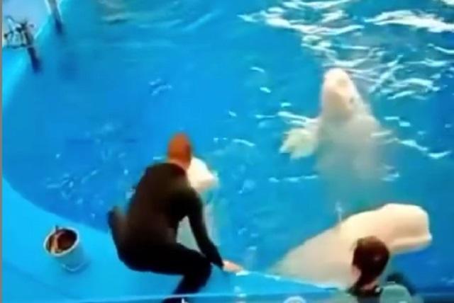 Video: Entrenador de ballenas beluga las golpea por no besarlo para truco