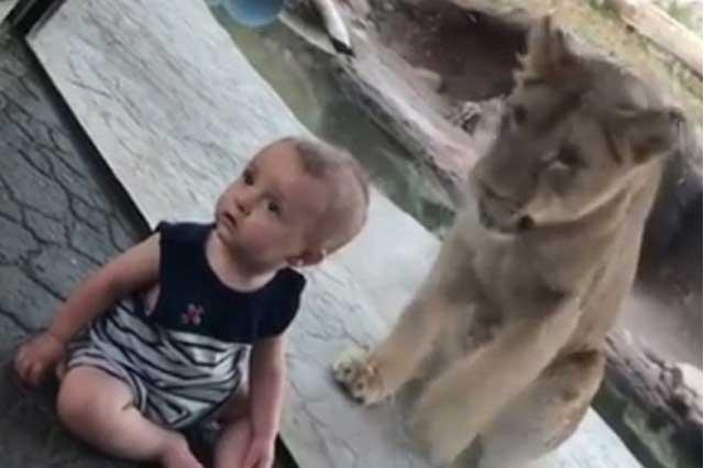 Bebé va al zoo y su reacción ante ataque de un león se viraliza