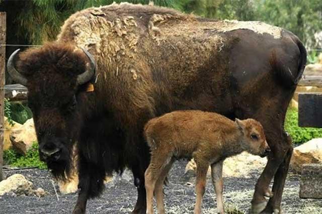 Muere otro bisonte del Zoológico de Chapultepec