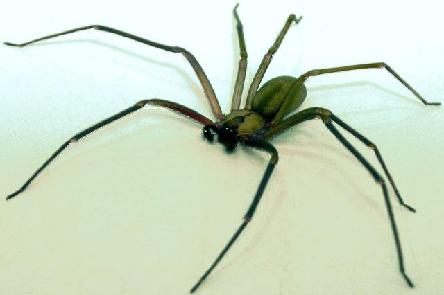 Niño es picado por araña violinista; ya es atendido en el HNP