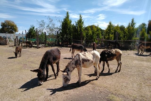 Burrolandía en peligro: Piden ayuda para salvar santuario de burros
