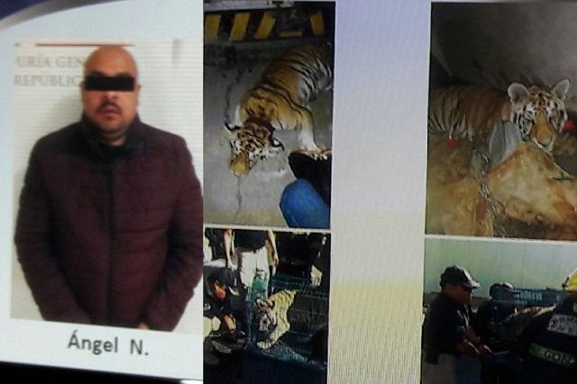 Tras operativo, cae capo huachicolero en Texmelucan; hasta un tigre tenían