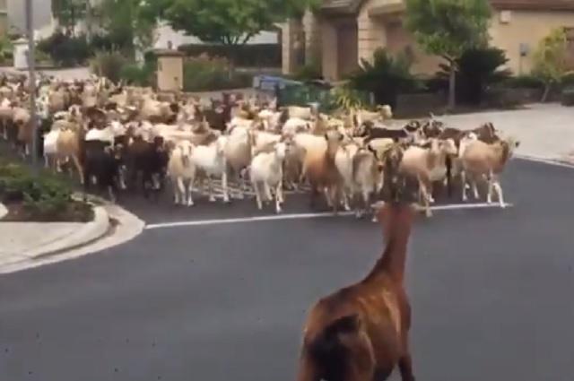 Rebaño de 200 cabras pasea por calles de California en EU