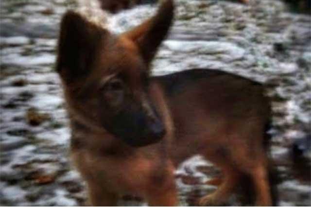 Putin regala a Francia a Dobrynia, una cachorra de raza pastor belga