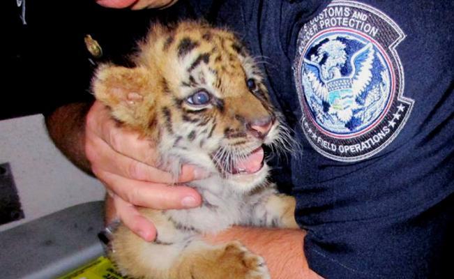 Intentan cruzar ilegalmente tigre por garita de Otay