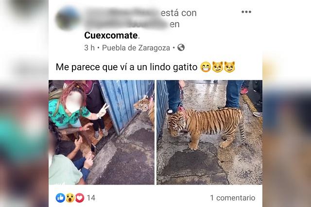 Cachorro de tigre se pasea en el Cuexcomate de La Libertad