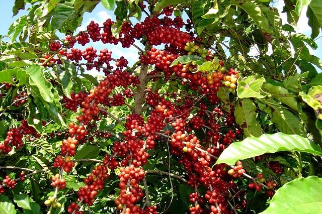 Baja producción de café en la Sierra Negra de Puebla