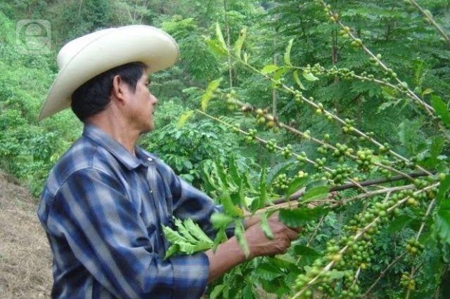 Acusan caficultores de Huitzilan falta de apoyo para cosechas