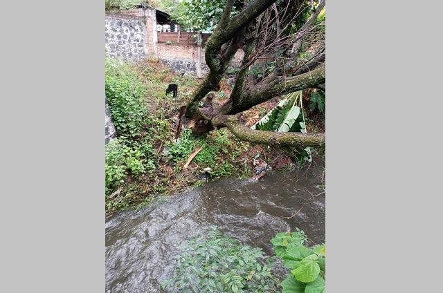 Fuertes lluvias en Atlixco provocan la caída de un árbol