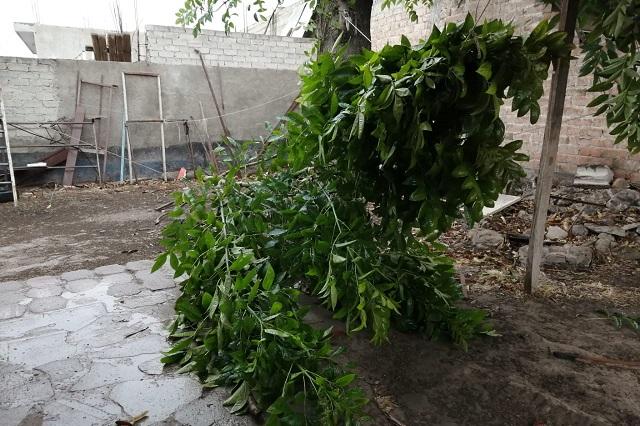Lluvias en Tehuacán provocan caída de árboles