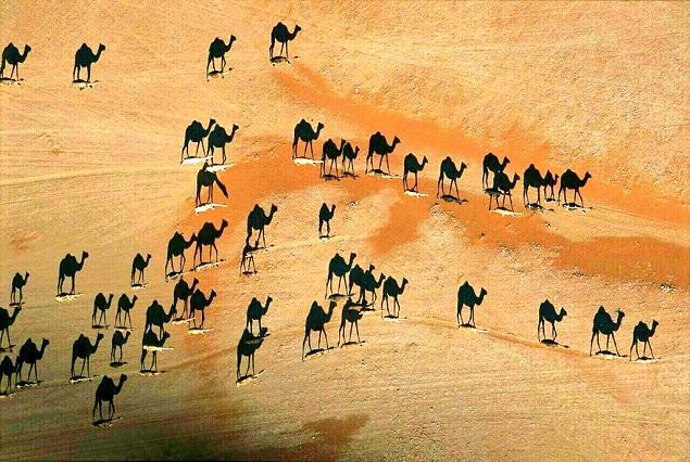 ¿Cuántos camellos hay en la foto? Un reto viral que se extiende en la web