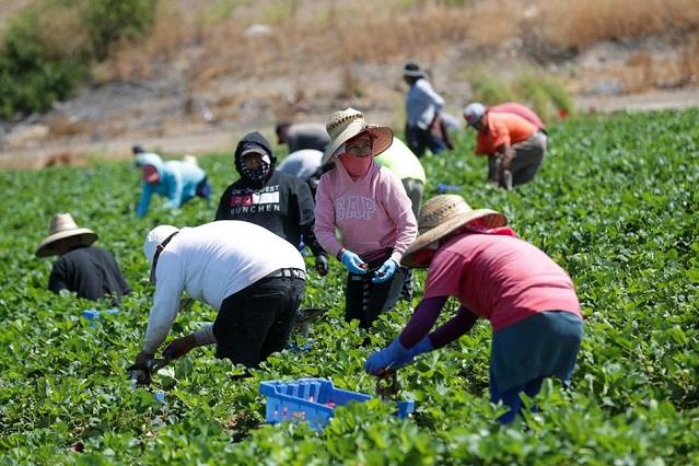 Sin seguro y cobrando el mínimo, así trabajan campesinos poblanos en EU